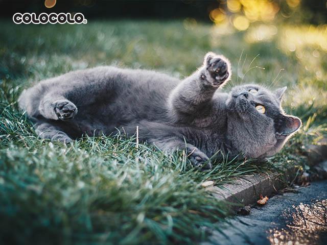 Mèo có thể dễ dạng bị nhiễm ký sinh trùng khi chơi đùa bên ngoài