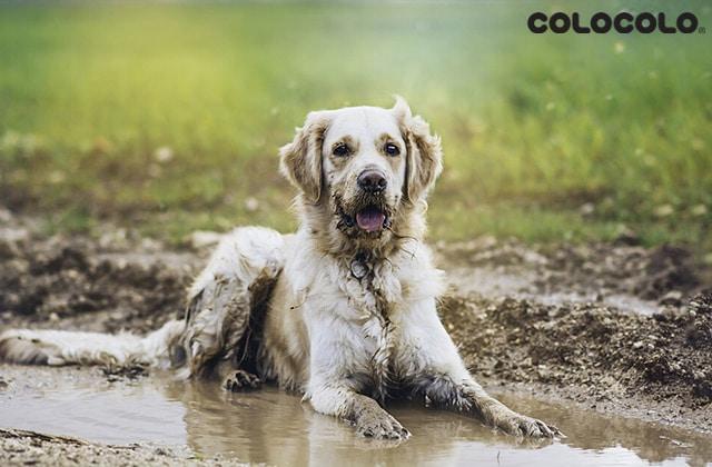 Tại sao chó bị rụng lông