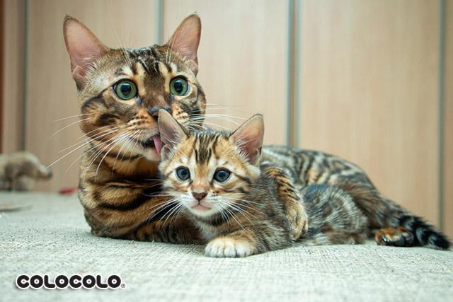 mèo ít rụng lông