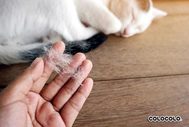 mèo rụng lông