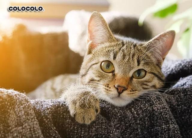 mùa rụng lông của mèo
